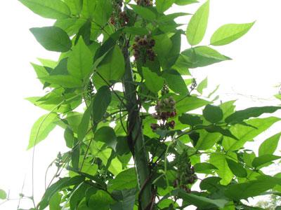 次々と咲くアピオスの花