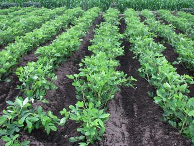 除草後のピーナッツ畑