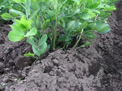 落花生の土寄せをして実が成長しやすくしました