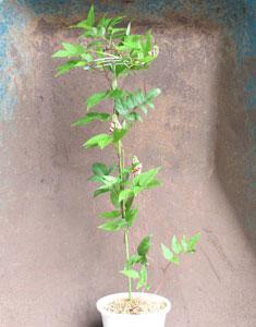 鉢植えのアピオスが開花しています