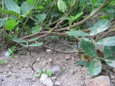 落花生が紫色の新しい根を出して実をつけています
