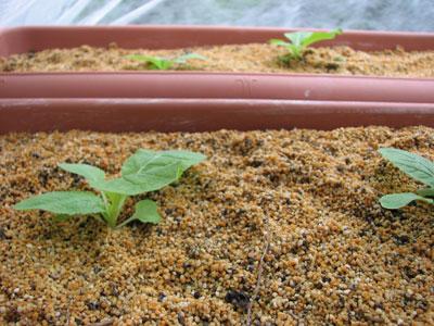 白菜の生長2