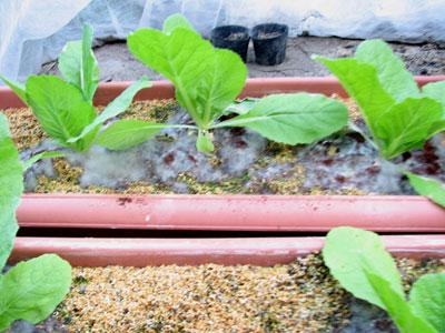 プランター栽培の白菜