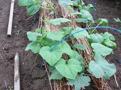 土壌改良後、同じ場所に新しいきゅうりの苗を定植しました
