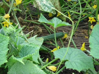 ネコブセンチュウに負けずに成長した路地きゅうりを収穫することができました