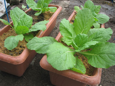 プランターの白菜の葉が増えているようです
