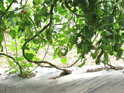 寒暖の差が出てきた秋、甘味が増し雨避け栽培のとまと