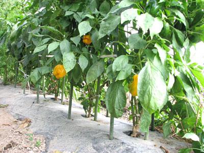立冬を迎える中で、甘味を増した雨避け栽培のパプリカ