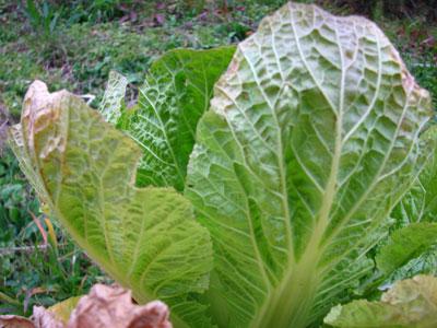 白菜のプランター栽培は、堆肥が少ないことが結球しない理由の一つかもしれません