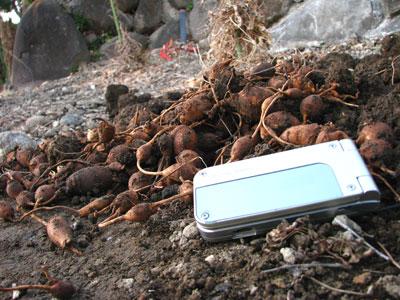 アピオスを収穫しました。手前の携帯電話と比べると大きさが分かると思います。