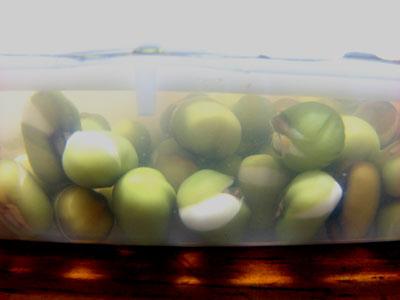 24時間余、緑豆を浸した状態です