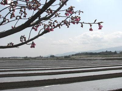 こんにゃくの植え付けに備えて土壌消毒が行われます