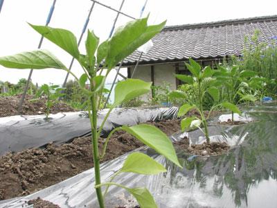 パプリカの定植を雨避け施設内で行います