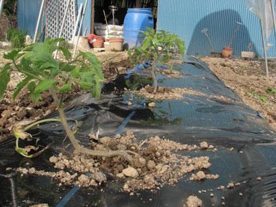 3種類の異なる大玉とまとの栽培の開始です