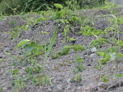 雑草と競争するように成長しているアピオス