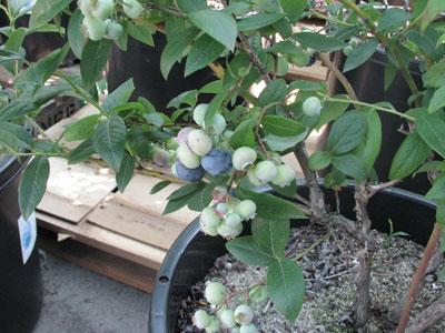 鉢植えのブルーベリーが完熟しています