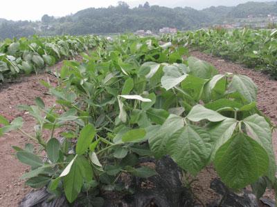 落花生と緑豆が並んで成長しています