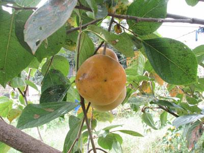 太秋柿の樹