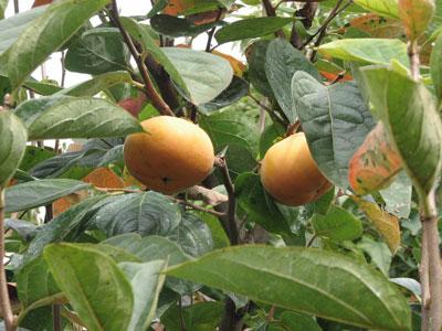 何個も実らせない太秋柿の実は大きく育っています