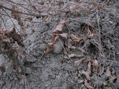 土の上に出ているアピオス