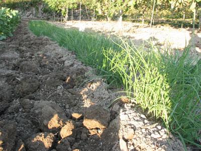 玉ねぎの苗を苗場から掘り起こします