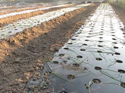 玉ねぎの苗を定植します