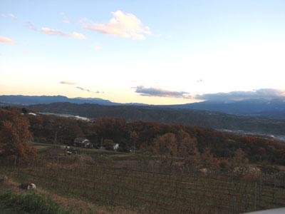 落葉して冬支度を終えようとしているワイン用ぶどうの樹