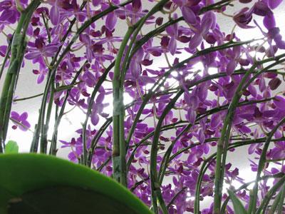 ミディー胡蝶蘭の寄せ植え