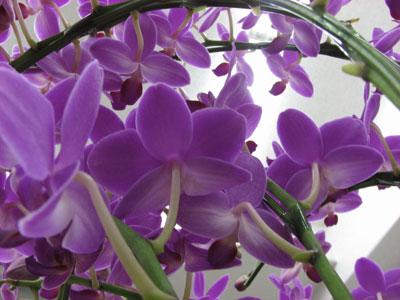 可憐な花の胡蝶蘭