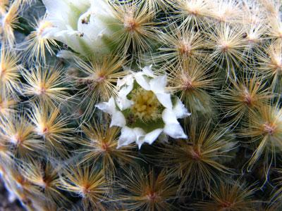 可憐なサボテンの花