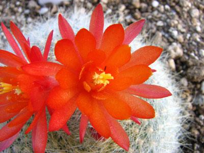 かわいらしいサボテンの花