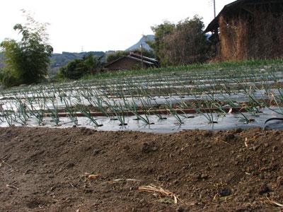 2009年産玉葱の苗が勢いづいています