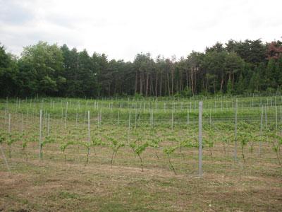 2009年5月下旬の葡萄畑