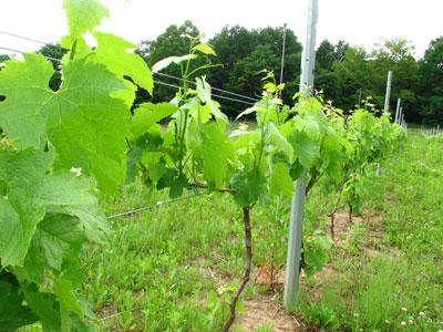 2009年6月6日の葡萄が実をつけています