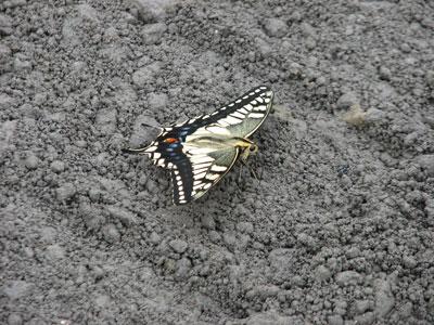 梅雨の合間のアゲハチョウ