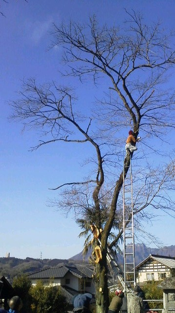 お堂の桜の木に登り、倒木補助のワイヤーを巻きつけます