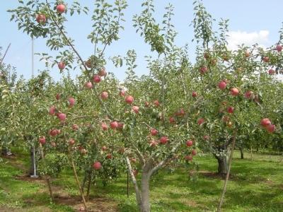 天竜峡のりんご狩り2