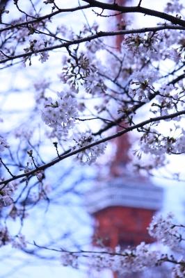 東京ワターと桜