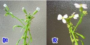 花〜は夜〜開くぅ〜〜