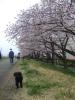桜並木とゴマ