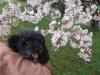 桜の花とゴマ