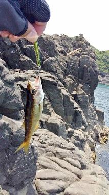 平戸島でアジング ムツ