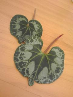 奇形の葉っぱ