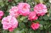 ファーマーズ6月のバラ01