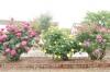 ファーマーズ6月のバラ02