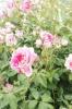 ファーマーズ6月のバラ04