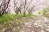 桜(サンパレア01)