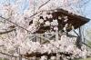 桜(サンパレア02)