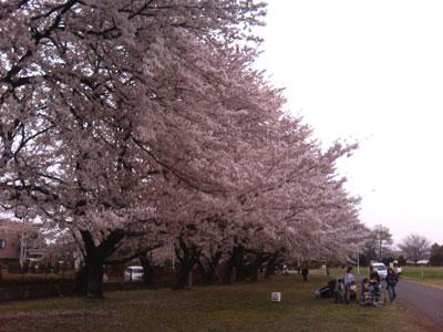 東大農場の桜