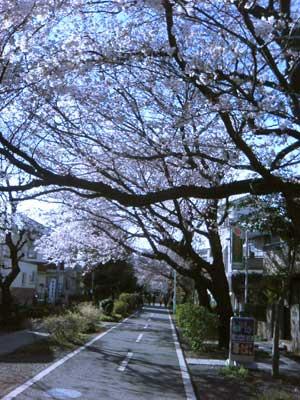 花小金井桜